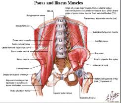 Anterior hip muscles | Well-EvolvEd-U